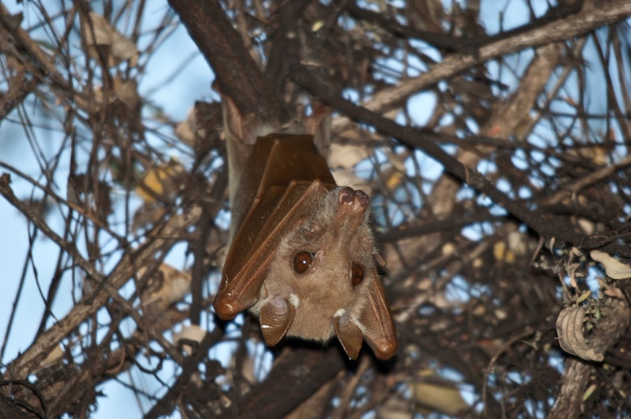 Bat at base camp Okavango
