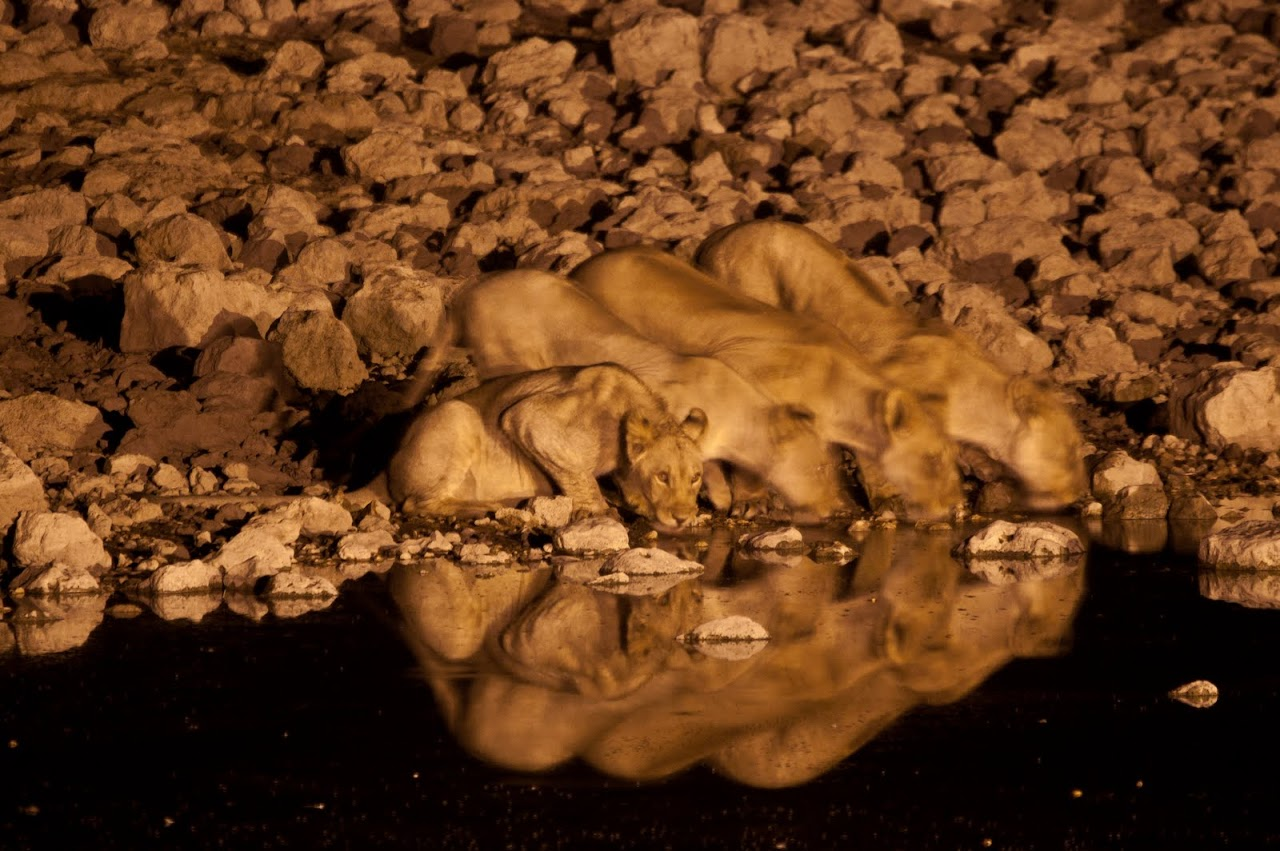Lions at night watering hole Etosha
