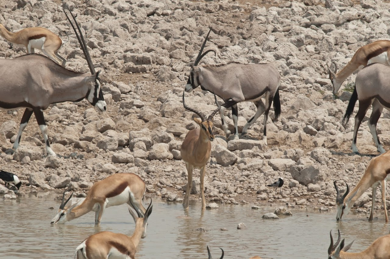 Impala and oryx at watering hole