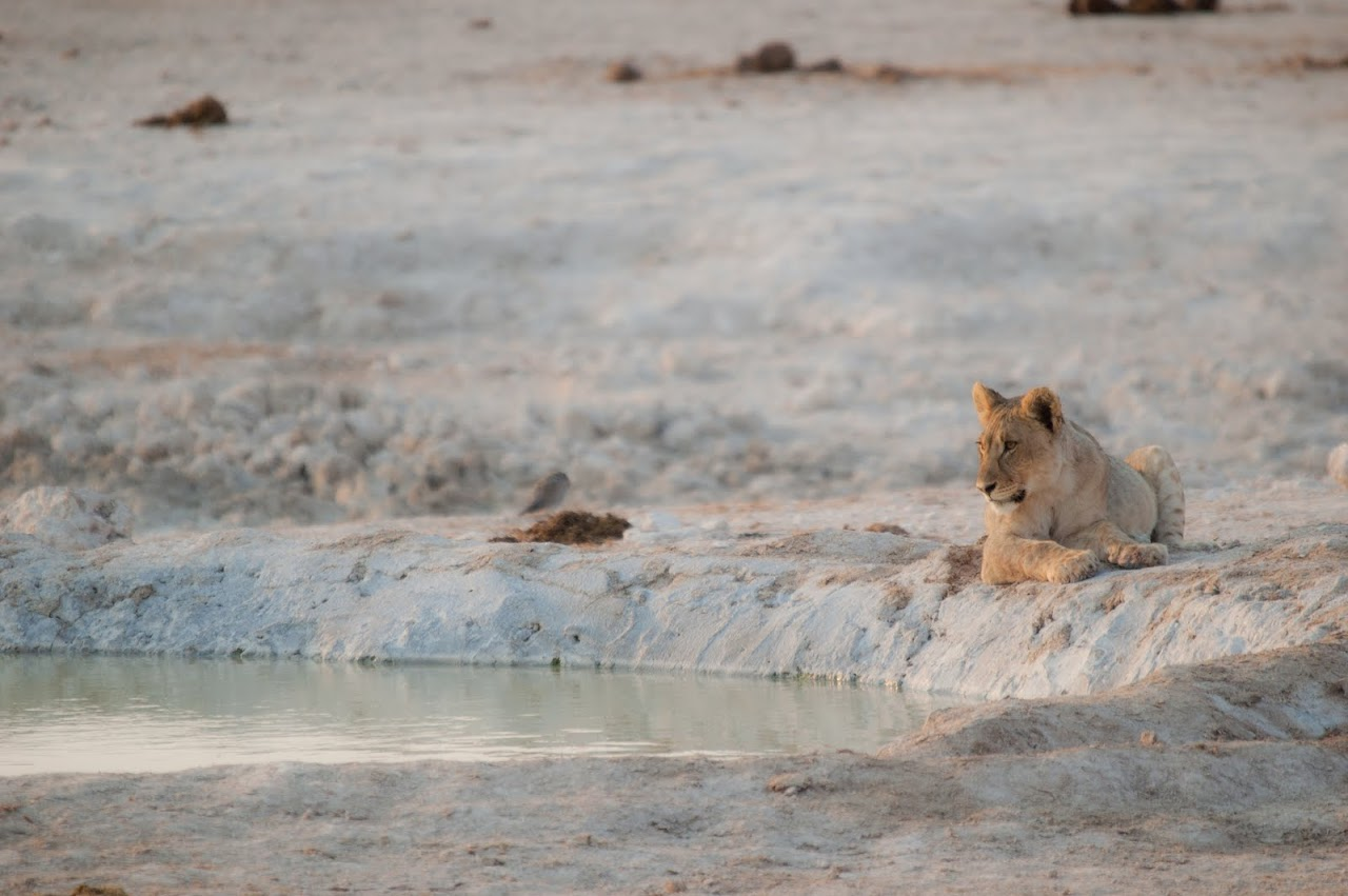 Lioness at watering hole