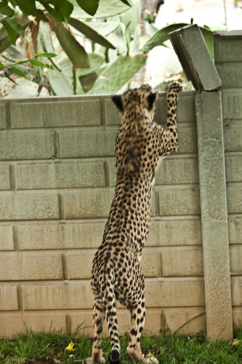 Cheetah leaping onto wall