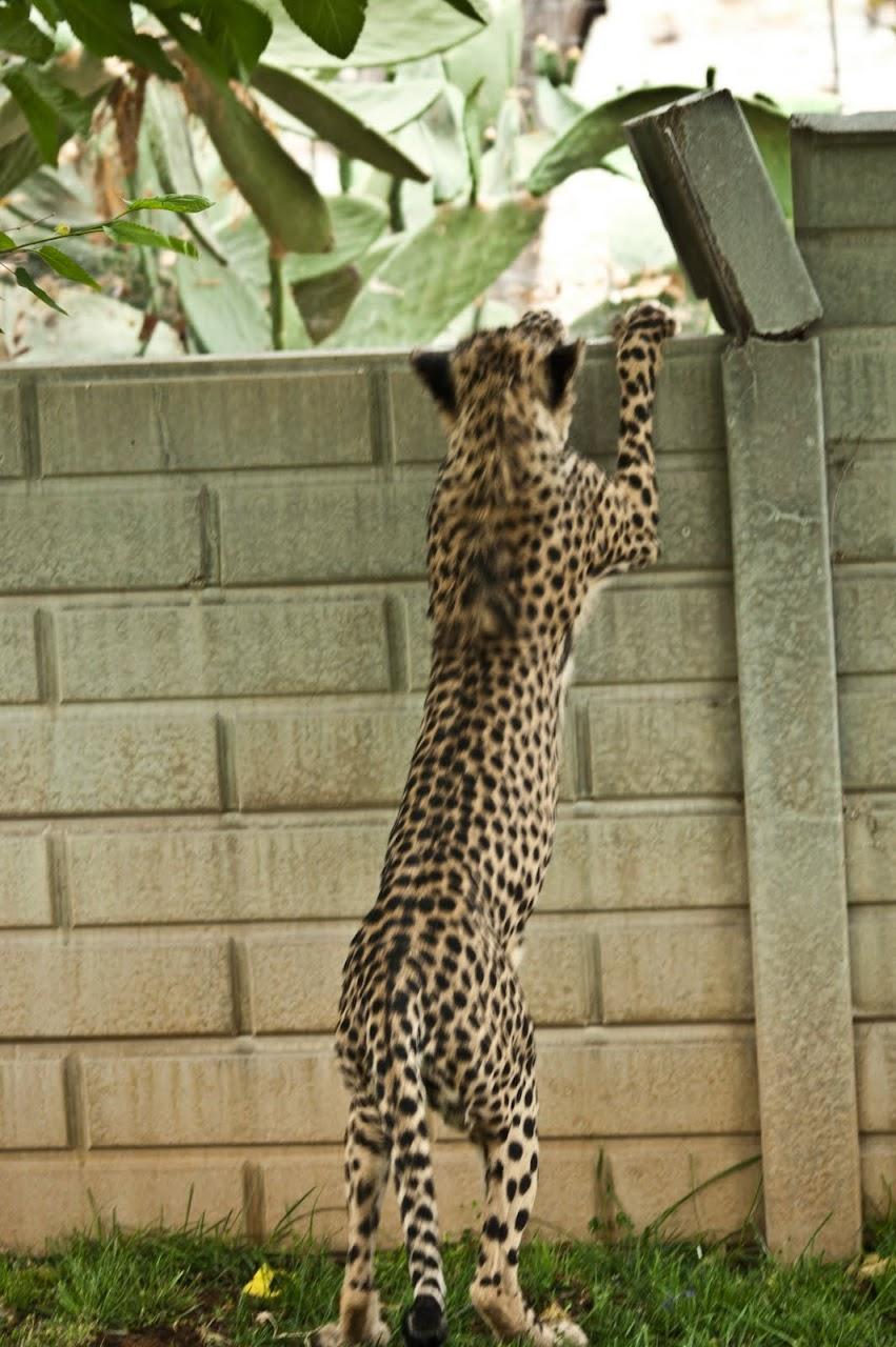 Cheetah leaping onto wall