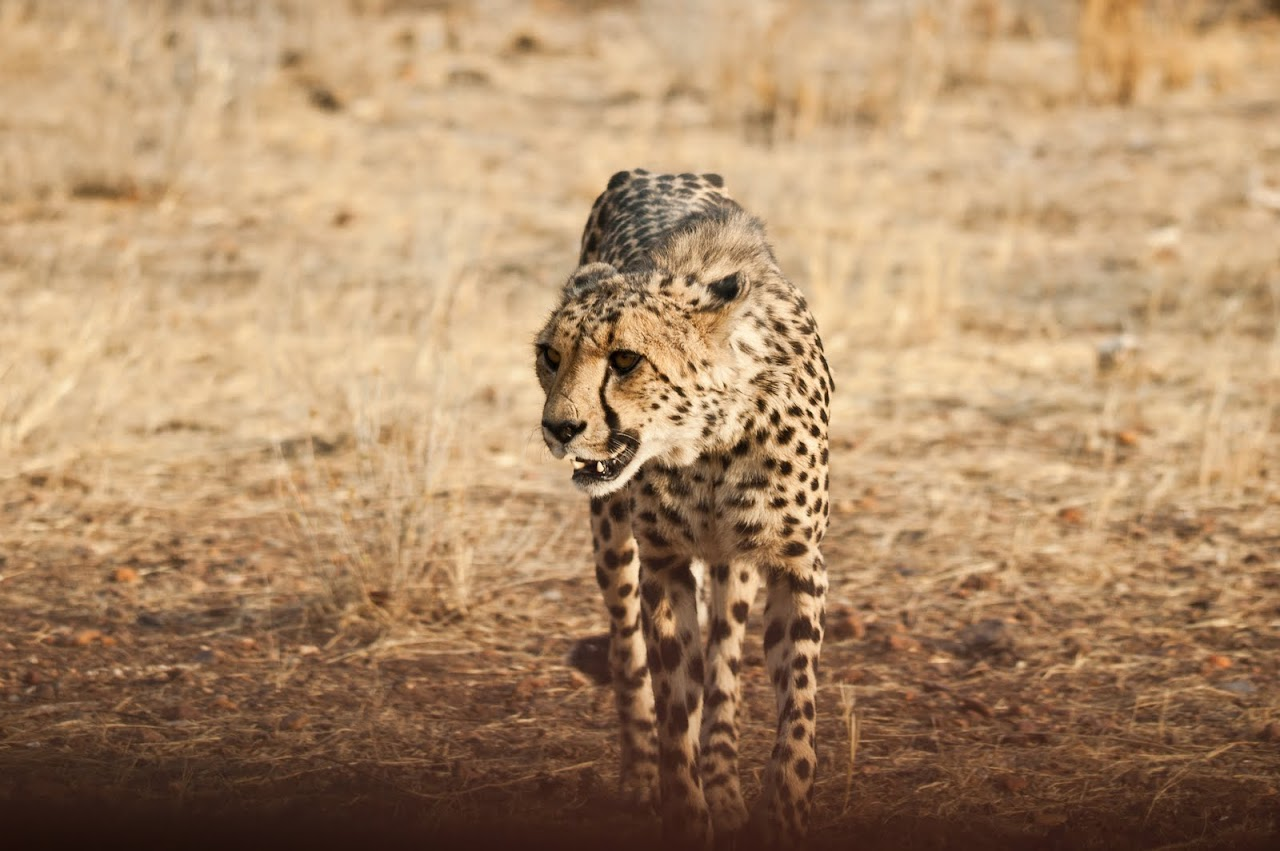 Cheetah coming for dinner