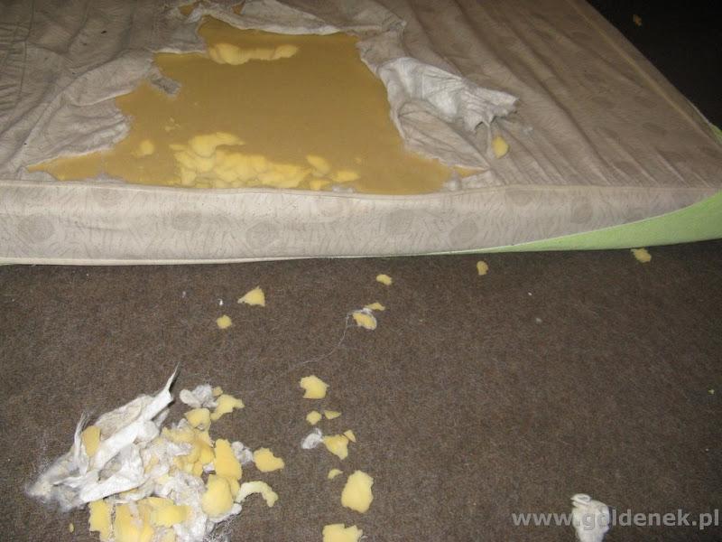 Golden Retriever niszczy