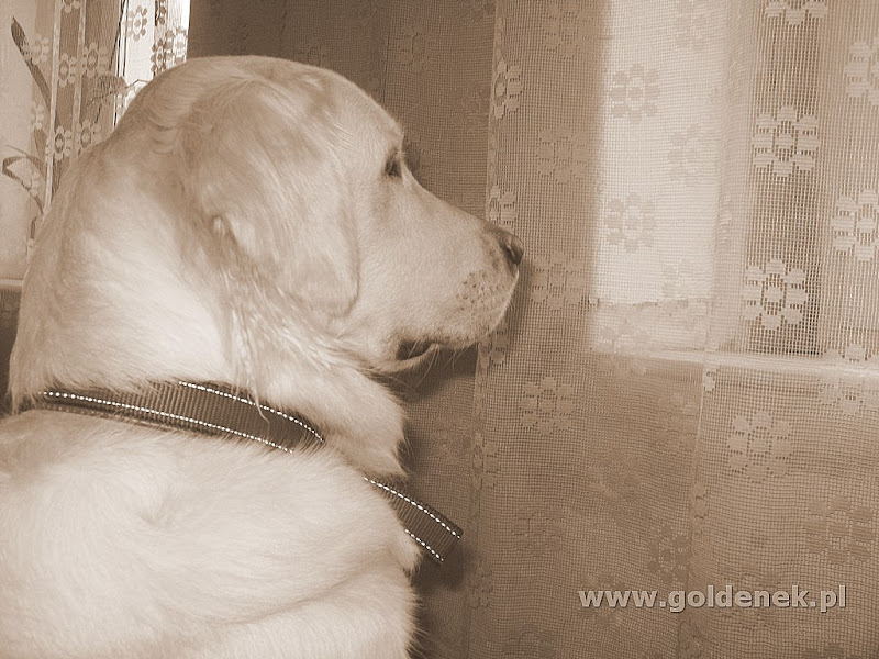 Golden Retriever patrzy w okno