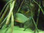 Piranyes a l'aquari