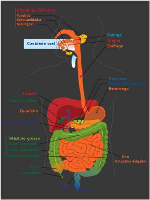 300px-Digestive_system_diagram_pt_svg