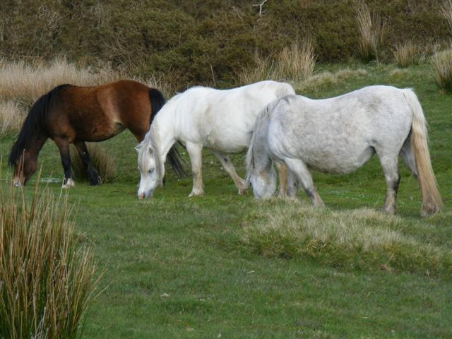 Newydd Mares on Llangoed Common