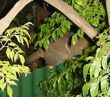 south australia possum