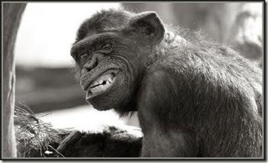 macaco bravo