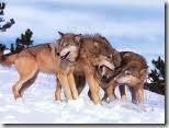 Lobos bricando