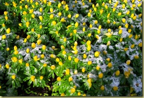 winter aconite_as
