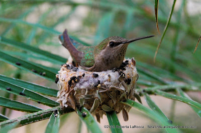 Hummingbird on Nest - MacDonald Highlands Henderson, NV
