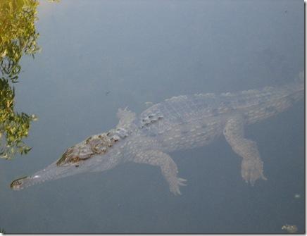 freshwater croc