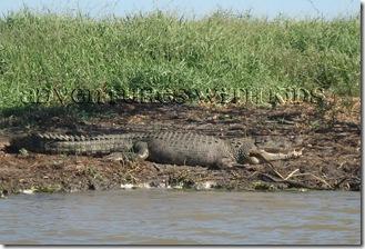 saltwater_croc
