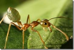 Green_Tree_Ant