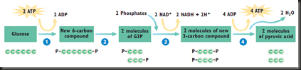 Cellular Respiration 1 : Glycolysis