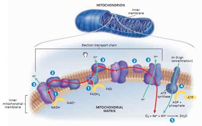 rantai transpor elektron