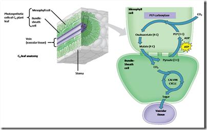 Fotosintesis Jenis Lain : Tumbuhan C4 dan CAM