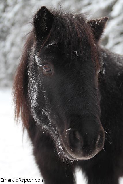 Shetlandsponni i snøen