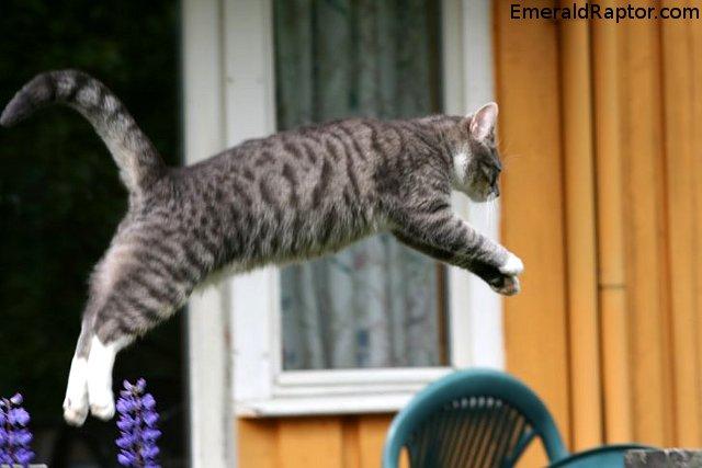 Ukestema: Bevegelse - høyt Katt som hopper
