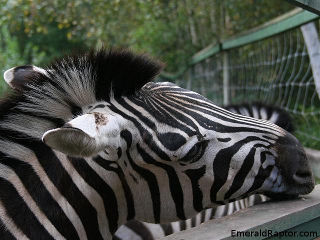 Zebra, Sebra