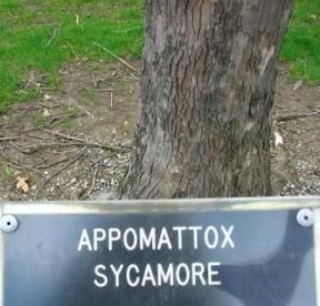 Appomattox sycamore