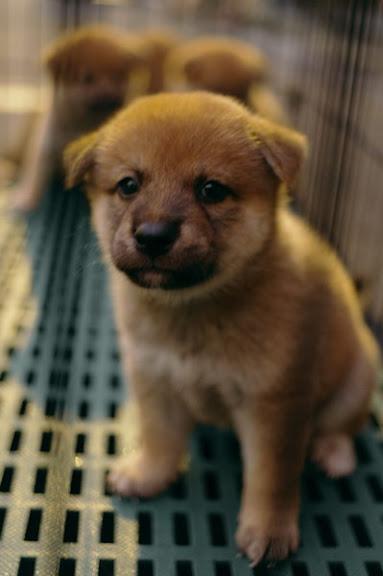 可愛小柴犬