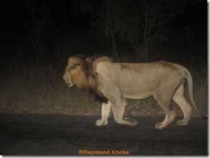 Leopard SIGHTING WITH JAYDE &LOUISA 137