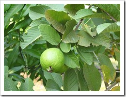 guava_fruit1