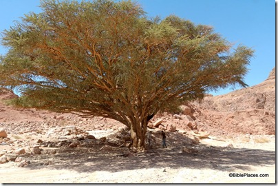 Acacia tree in Wilderness of Sin, tb032506825