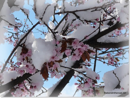 April Snow on Blossoms