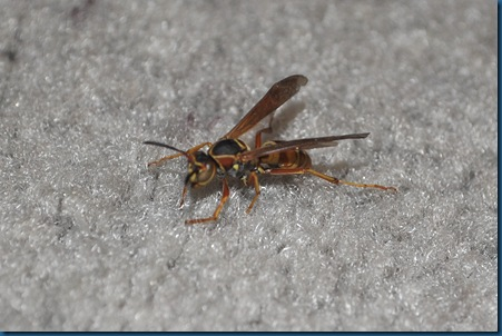 03-19-11 slow wasp 01