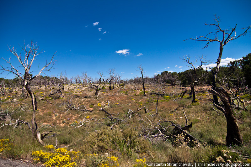 USA Arizona Grand Canyon Forest Trees США Аризона Гранд Каньон Деревья Лес Растительность Флора