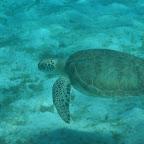 Green Turtle in den Tobago Cays