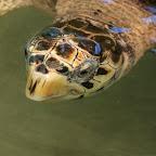Hawksbill in der Turtle Sanctuary