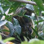 Baum Känguru Mutter mit Baby