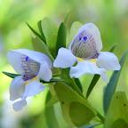 Wüstenblume in den Olgas