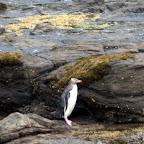 Gelbaugen-Pinguin watschelt über den versteinerten Wald.