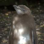 Junger Gelbaugen Pinguin