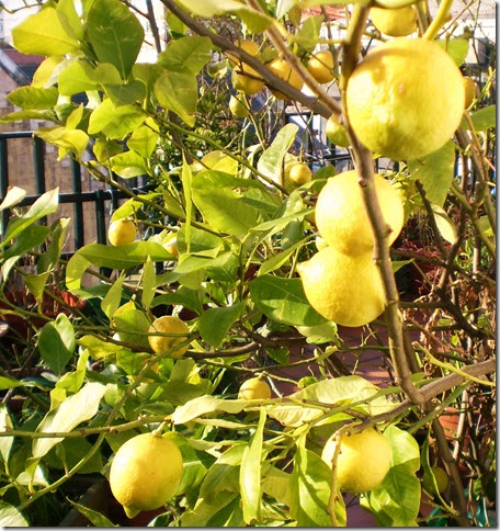 El jardinero urbano el limonero y los c tricos limonero for Limonero sin limones