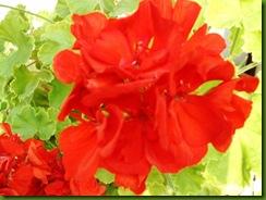 flores de setiembre2 014