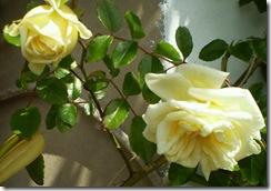 29 de abril rosas 004