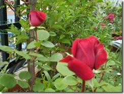 Estanque y rosas 13 de mayo de 2009 003