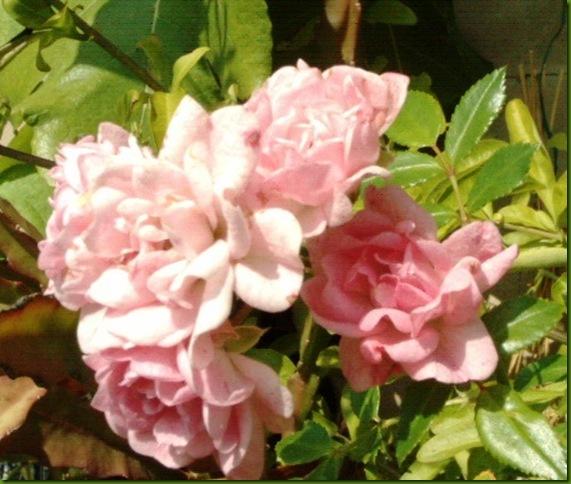 flores de setiembre2 063