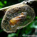 Tiger moth cocoon.