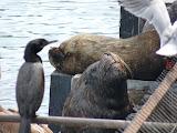 Lions de mer, marché aux poissons de Valdivia