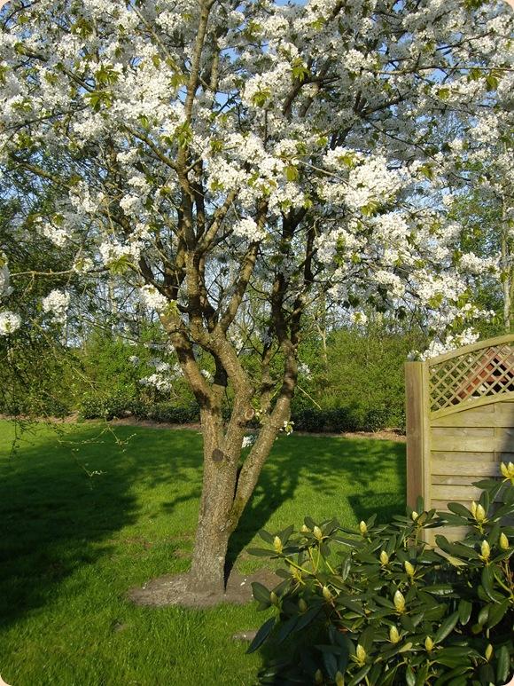maj måneds æbletræ