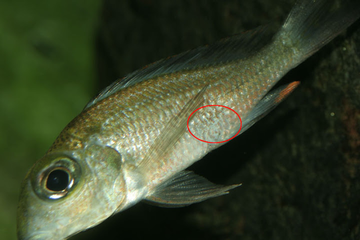 Cichlid forum fish disease identification for Cotton wool disease in fish