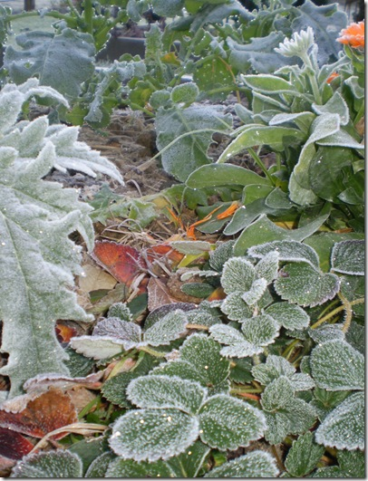 Frost in June 2010 004